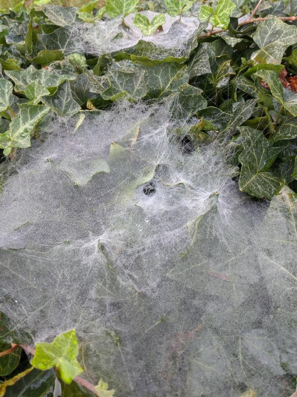 Grass spider webs 3